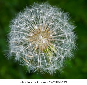 Fruit of Taraxacum officinale (Family: Asteraceae, also called Compositae). Common name: common dandelion, or dandelion.