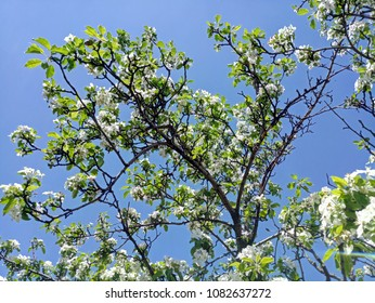 Fruit tree beautiful blooms in the spring.