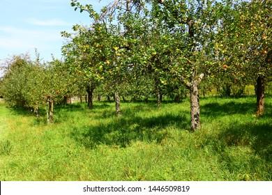 Fruit tree plantation in midsummer
