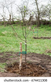 Fruit tree seedling planted in the ground and covered mulch of compost, step by step guide