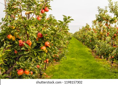Fruit trees with harvest ripe red apples in a modern Dutch apple orchard with espaliers at the end of the summer season. Fresh green grass grows between the long rows of fruit trees.