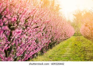 Fruit trees in spring blossom