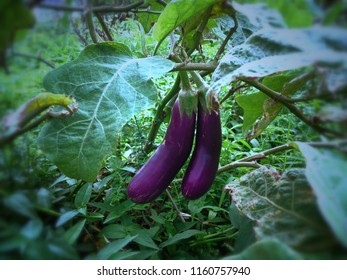Fruit Vegetables Solanum Melongena Plants In The Garden Bali Indonesia