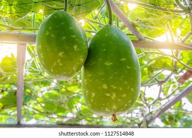 The fruit of Winter melon, White gourd, Winter gourd, Ash gourd (Benincasa hispida) in the vegetable garden