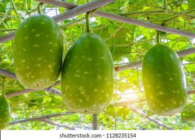 The fruit of Winter melon, White gourd, Winter gourd, Ash gourd (Benincasa hispida) in the vegetable garden