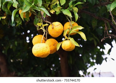 Fruit of Yuzu orange