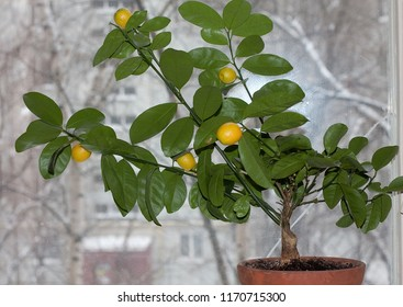 Fruit-bearing calamondin (Citrofortunella microcarpa) in pot  windowsill against window glass. Fragment.