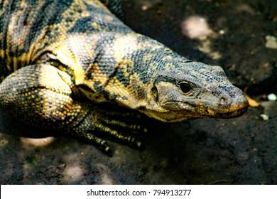 Fruit-eating monitor lizard (Varanus Bitatawa) in captivity