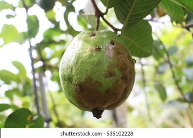 Fruitfly (Bactrocera spp.) spawn on guava