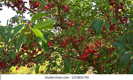 Fruitful cherry tree in June. Cherry tree bearing fruits. Unripe red cherries in abundance hanging on the leafy tree branches. Red cherry fruits ripening on a tree Abundance of cherries on branches.