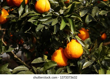 Fruitful and fresh trees of winter hallabong (a kind of tangerine) in Jeju Island (South Korea) on a very sunny day.