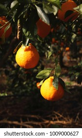 Fruitful trees and juicy hallabongs (kind of tangerine) in Jeju Island (South Korea) on a very sunny day.