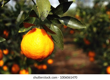 Fruitful trees and winter hallabongs (kind of tangerine) in Jeju Island (South Korea) on a very sunny day.