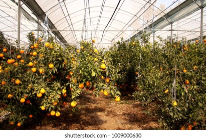 Fruitful trees and winter hallabongs (kind of tangerine) in a greenhouse at Jeju Island (South Korea) on a very sunny day.