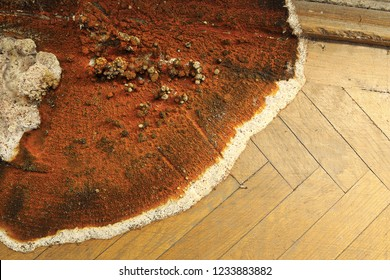 fruiting body of dry roton the parquet floor and wall ( Serpula lacrymans )