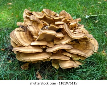 Fruiting body of a giant polypore, Meripilus giganteus, at the dead wood of a tree stump