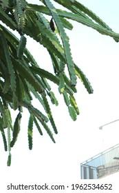 fruitless dragon fruit tree that hang down