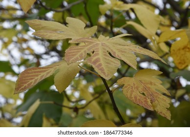 The fruitless Fig tree in the fall with a three-pointed yellowed leaves as the background