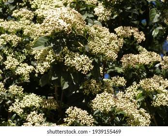 fruitless tree flower in park