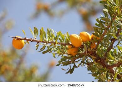 Fruits of Argan tree  (Argania spinosa) on the branch