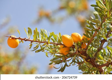 Fruits of Argan tree (Argania spinosa) on the branch