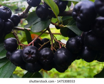 The fruits of aronia on the branch.