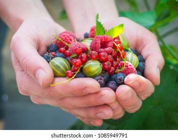 Fruits and berries. Fresh berries, raspberries, gooseberries, blueberries, red currants, mint. Berries in the hands.