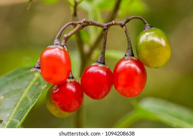 Fruits of bittersweet nightshade (Solanum dulcamara)