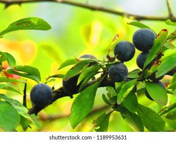fruits of blackthorn berry, Prunus spinosa,