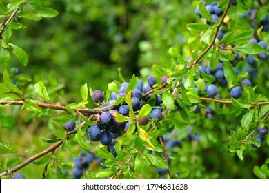 fruits of blackthorn, sloe (prunus spinosa)
