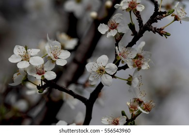 fruits blossom