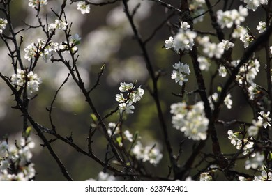 fruits blossom, spring