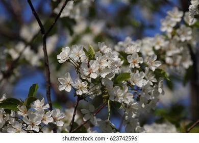 fruits blossom, spring