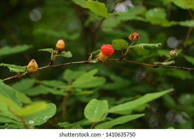 """Fruits of bramble - Rubus microphyllus. It is called """"Kiichigo"""" in Japan."""