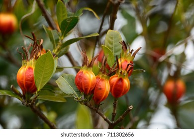 Fruits Of Gardenia Jasminoides Images Stock Photos Vectors