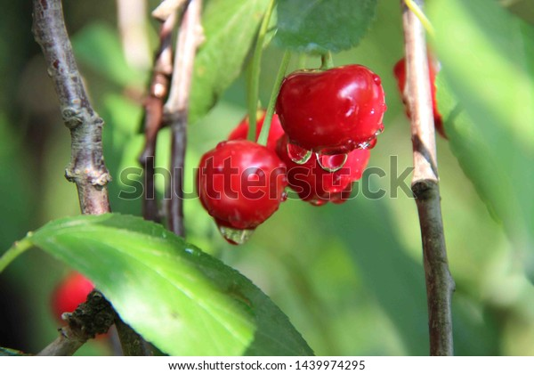 fruits cherry drops water after 600w 1439974295