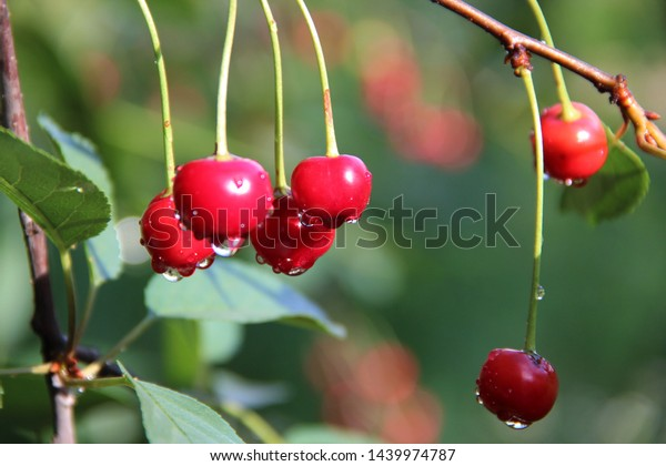 fruits cherry drops water after 600w 1439974787