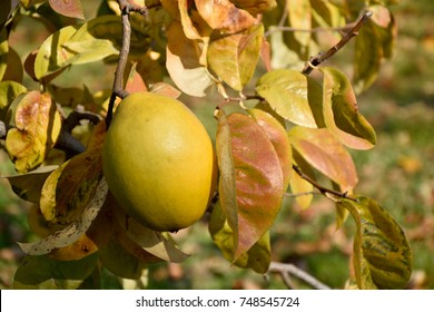 Fruits of Chinese quince