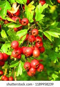 fruits of Crataegus laevigata, midland hawthorn,