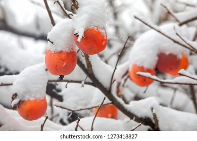 Fruits of Date plum tree or Diospyros lotus with the first snow