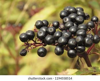 fruits of dwarf elder, Sambucus ebulus,