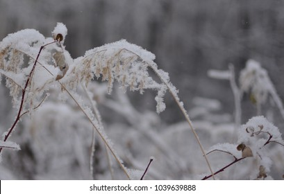Fruits of grass in winter frost.