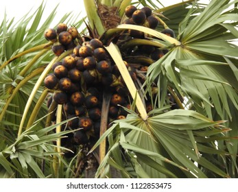 Lot of Fruits hanging to Borassus flabellifer (Palmyra palm) Tree. compound leafs. It is commonly known as doub, palmyra, tala, toddy or wine palm.