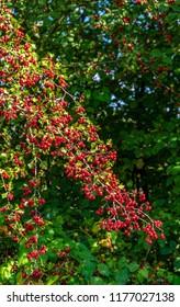 Fruits of the hawthorn, Crataegus
