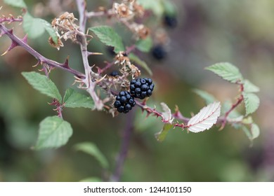 Fruits of a holy bramble (Rubus sanctus) from the Mediterranean area.