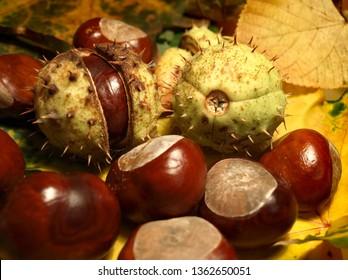 Fruits of horse chestnut.