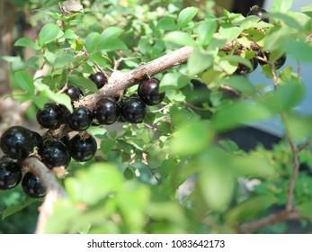 Fruits of Jabuticaba (Jaboticaba) tree