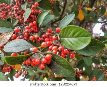 Fruits and leaves of Cotoneaster coriaceus ornamental shrub