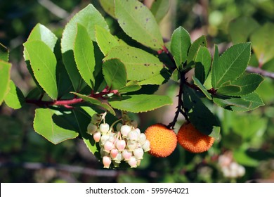 Fruits, leaves and flowers of the Strawberry tree (Arbutus andrachne) in Portugal