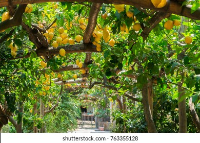 Fruits in Lemon garden of Sorrento at summer